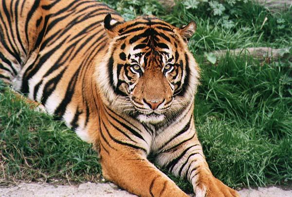 sandokan tigre scena