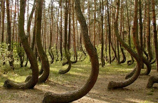 Luoghi MISTERIOSI: CROOKED FOREST – (Polonia)