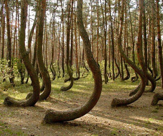 """Crooked Forest - Particolare di """"piegatura"""""""