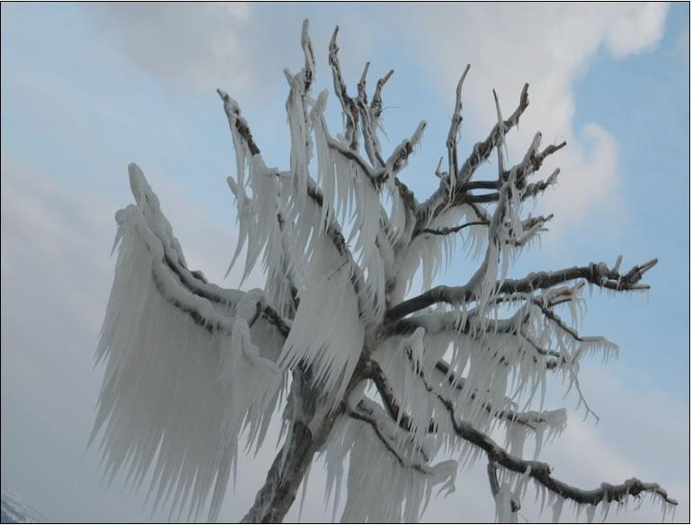 Versoix - Lago di Ginevra - Particolare di albero ghiacciato -