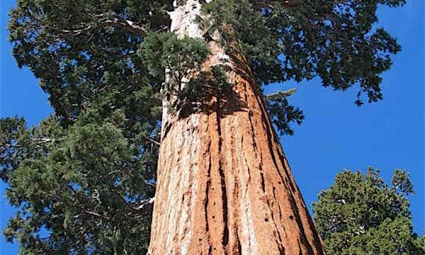 Curiosità dal mondo: HYPERION e GENERAL SHERMAN gli alberi più grandi esistenti